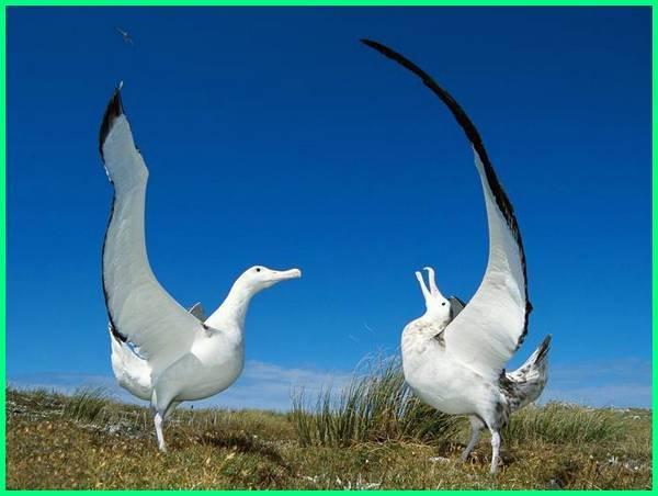 burung terbesar di dunia yang masih hidup, foto burung terbesar di dunia, foto burung terbesar dunia, fakta burung terbesar di dunia, jenis burung terbesar di dunia, burung laut terbesar di dunia, nama burung terbesar di dunia