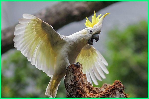 tentang burung kakak tua, deskripsi tentang burung kakak tua, deskripsi tentang burung kakak tua dalam bahasa inggris, tentang kakatua goffin, tentang kakatua jambul kuning, penjelasan tentang kakatua, riddle tentang kakak tua