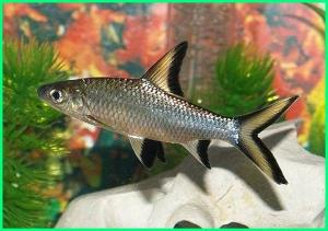 ikan balashark adalah, ikan belanak hias, ikan hias balasak, makanan ikan belanak laut, ikan balashark terbesar, ikan balashark wikipedia