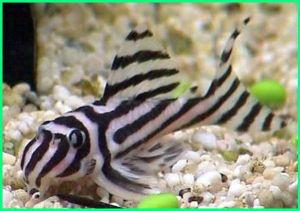 zebra pleco l46, zebra pleco natural habitat, zebra pleco price, zebra pleco breeding, zebra pleco for sale, zebra plecos, zebra pleco care, zebra pleco size, zebra pleco aquarium