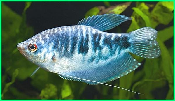 sepat hias biru, sepat hias kuning, sepat hiasan, sepat hias betina, ikan sepat hiasan, budidaya sepat hias, jual sepat hias, ikan sepat hias galak, ikan sepat hias air tawar, ikan hias sepat batik, ikan hias sepat dahlia