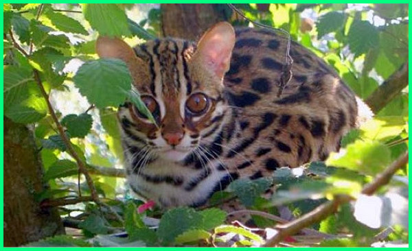kucing congkok, jenis kucing hutan indonesia, harga kucing hutan indonesia, gambar kucing hutan indonesia, foto kucing hutan indonesia, komunitas kucing hutan indonesia, jenis2 kucing hutan indonesia, macam macam kucing hutan indonesia