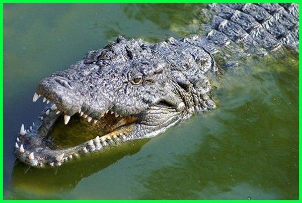 hewan air purba yang masih hidup, hewan air raksasa, hewan raja air, hewan air di sungai amazon, hewan air sungai hewan yg hidup di air sungai