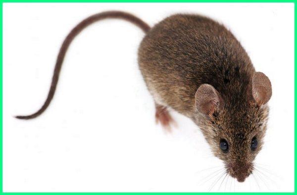 hewan umur paling pendek yg umurnya yang memiliki dengan binatang nya berumur singkat