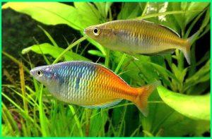Ikan Pelangi Papua, jenis ikan pelangi, jurnal ikan pelangi, klasifikasi ikan pelangi, karakteristik ikan pelangi, reproduksi ikan pelangi merah, spesifikasi ikan pelangi, ikan kakak tua pelangi, tentang ikan pelangi, ikan hias warna pelangi, warna ikan pelangi
