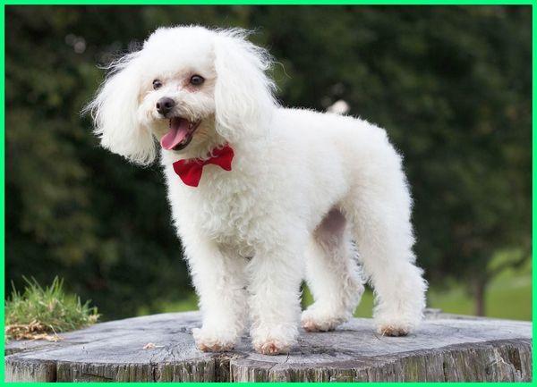 jenis anjing lucu poodle, anjing kecil lucu imut, jenis anjing kecil lucu, anjing kecil yang lucu, gambar anjing kecil lucu, foto anjing kecil lucu, anjing kecil dan lucu