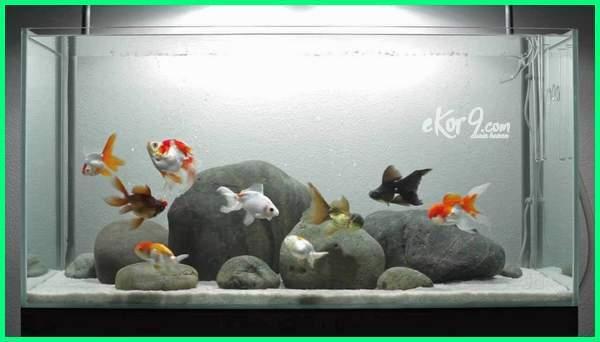 jumlah ikan menurut feng shui, jumlah ikan koki menurut feng shui, berapa jumlah ikan koi menurut feng shui, feng shui jumlah ikan, jumlah ikan koi feng shui