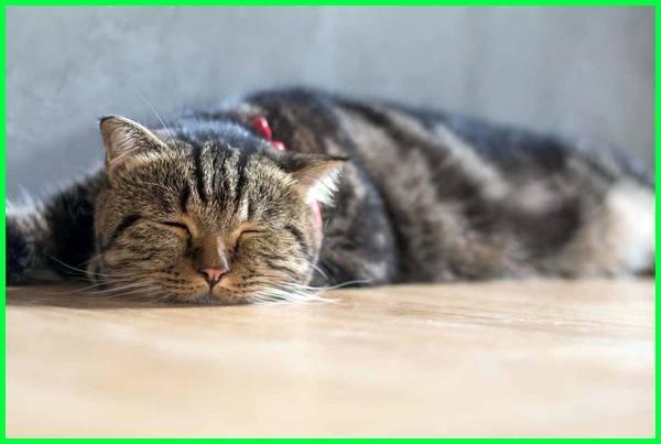 mengobati kucing yang cacingan secara alami, foto kucing cacingan, faktor kucing cacingan, feses kucing cacingan, gambar kucing cacingan, kucing muntah cacing putih, cacing kucing menular ke manusia, kucing cacingan obatnya apa, kucing muntah cacing obatnya apa, obat kucing cacingan secara alami, kucing peliharaan cacingan