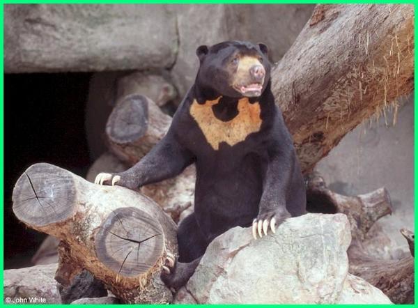 ada berapa jenis beruang, ada berapa jenis beruang di dunia, nama jenis beruang, nama atau jenis makanan beruang