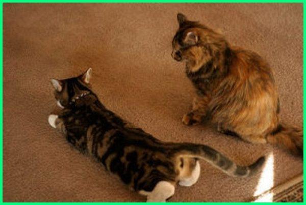 kucing berahi, kucing birahi, ciri kucing menstruasi, ciri ciri kucing menstruasi, kucing mengalami menstruasi, apa kucing mengalami menstruasi, kucing persia menstruasi, menstruasi pada kucing, apa kucing menstruasi, umur kucing menstruasi, kucing wanita menstruasi