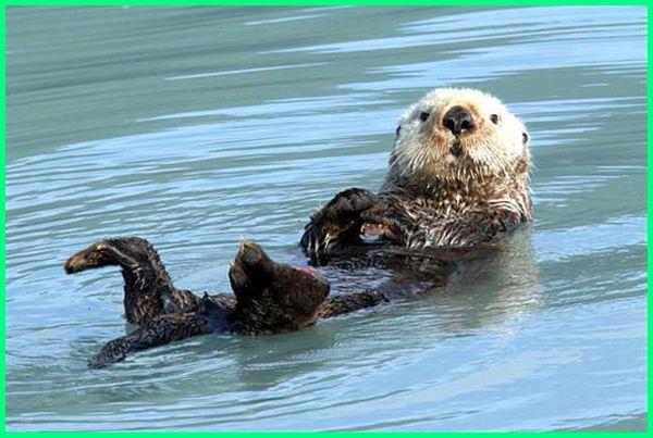 mamalia air contohnya, contoh mamalia air dan darat, mamalia di air, mamalia dalam air, hewan mamalia air contohnya, hewan mamalia air tawar, jenis mamalia air, mamalia di air laut, mamalia air yang menyusui, 2 contoh mamalia air