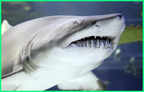 hewan laut bertaring, hewan hewan bertaring, jenis hewan bertaring, hewan yang bertaring kuat, macam hewan bertaring, nama hewan bertaring, hewan buas bertaring panjang, hewan yang bertaring tajam, 10 hewan bertaring