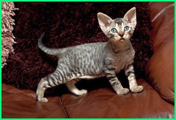 kucing kecil dan lucu, nama kucing kecil, kucing ras kecil, kucing ukuran kecil, kucing yang kecil terus, jenis kucing ukuran kecil, gambar kucing ukuran kecil, nama kucing kecil yang lucu, jenis kucing kecil yang lucu
