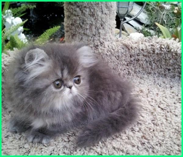 kucing persia lucu imut, kucing persia lucu dan imut, kucing persia lucu dan unik, kucing persia anakan lucu, kucing persia abu abu lucu, gambar anak kucing persia lucu