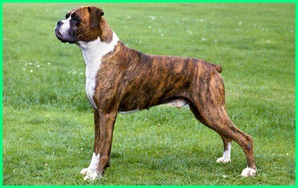 foto anjing boxer, fakta anjing boxer, anjing jenis boxer, karakter anjing boxer, memelihara anjing boxer, anjing peranakan boxer, poto anjing boxer, photo anjing boxer, tentang anjing boxer