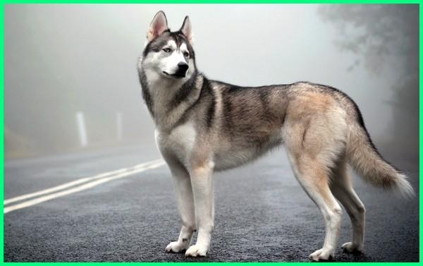 anjing atau serigala, anjing blasteran serigala, anjing bersuara serigala, anjing bunyi serigala, anjing berburu serigala, anjing berupa serigala, anjing campuran serigala, foto anjing yang mirip serigala, gambar anjing yang mirip serigala
