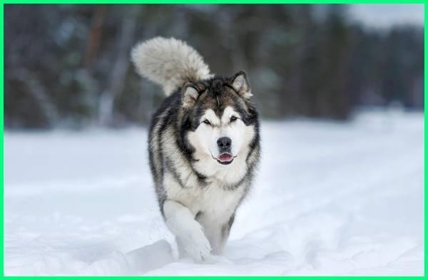 21++ Spike anjing alaskan malamute terbaru