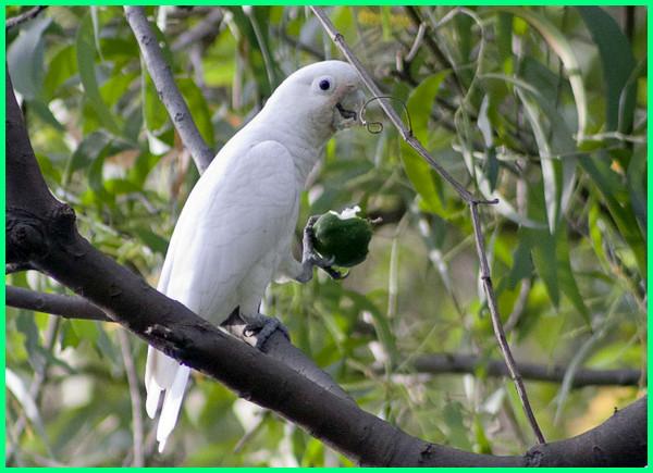 apa saja jenis makanan burung kakatua, berapa jenis burung kakak tua, ada berapa jenis burung kakatua