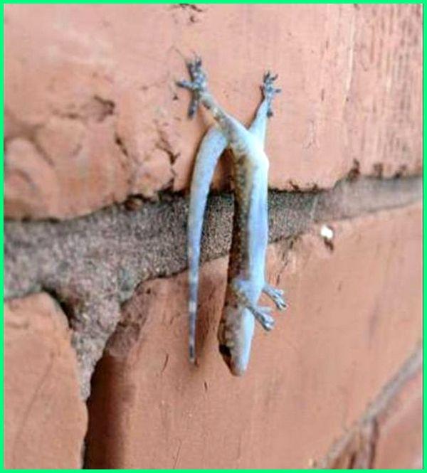 gambar cicak lucu, gambar tokek lucu, cicak dapat menempel dan merayap di dinding karena, cicak dapat menempel di dinding karena kakinya memiliki, cicak dapat menempel di dinding, cicak mati menempel di dinding, cicak bisa menempel di dinding karena, mengapa cicak menempel di dinding