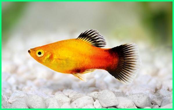 ikan hias yg gampang beranak, ikan platy, ikan hias air tawar mudah beranak, ikan hias yang mudah beranak di akuarium, ikan hias air tawar yang mudah beranak