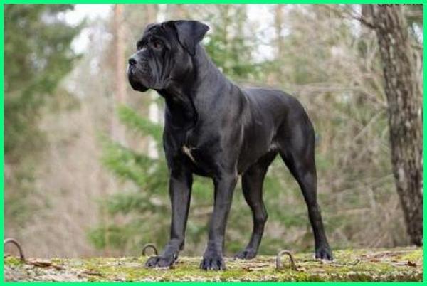 jenis anjing dan gambarnya, jenis anjing family, jenis anjing friendly, jenis anjing favorit, jenis anjing import