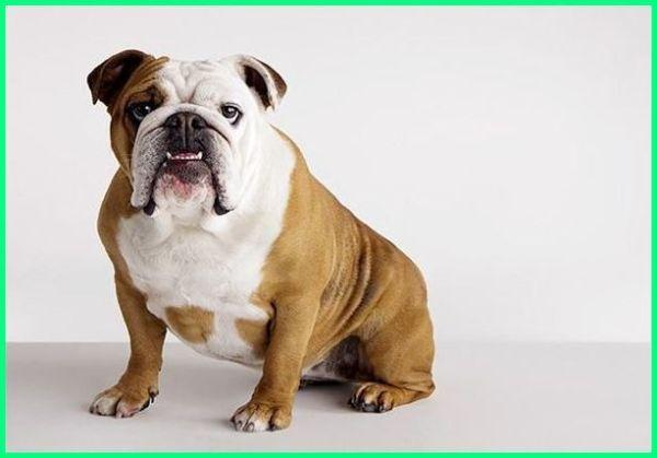 anjing bulldog, anjing bulldog asli, anjing bulldog adalah, ciri ciri anjing bulldog, cari anjing bulldog, jenis anjing jelek, jenis anjing jawaban tts, jenis anjing jwbn tts, jenis anjing kaki pendek