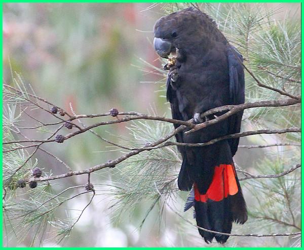 foto jenis burung kakatua kepala hitam, foto jenis burung nuri kepala hitam ekor merah