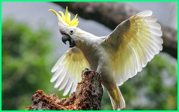 jenis burung kakatua jambul kuning, jenis burung kakatua yang bisa bicara, jenis burung nuri dan asalnya, jenis burung nuri bisa bicara, jenis burung nuri.com, jenis burung kakatua dan gambarnya