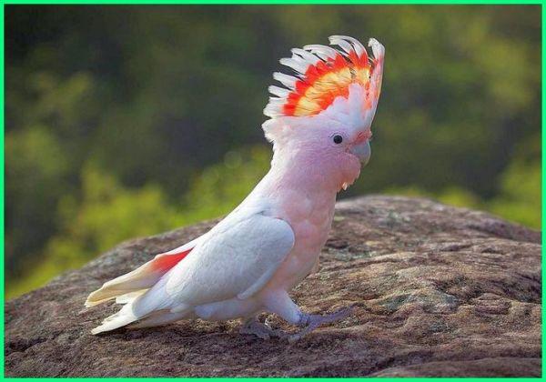 burung kakatua cantik, burung kakatua lucu, jenis burung kakatua di dunia, nama-nama burung kakatua