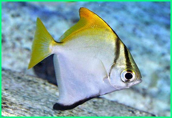 Unduh 990 Contoh Gambar Ikan Air Tawar HD Gratis