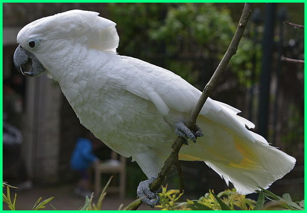 jenis burung kakatua yang bisa bicara, jenis burung kakatua di indonesia, jenis burung kakatua yang paling pintar, jenis burung kakatua dan gambarnya, jenis burung kakatua indonesia, jenis jenis kakatua di dunia, macam jenis kakatua