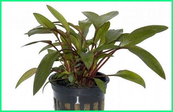 jenis tanaman aquascape di alam, aneka jenis tanaman aquascape, jenis tanaman buce aquascape, jenis tanaman buat aquascape, nama dan jenis tanaman aquascape