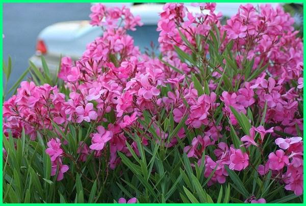 tanaman pagar pekarangan, tanaman pengganti pagar, tanaman penghias pagar, tanaman penutup pagar