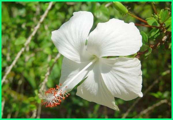 tanaman pagar berbunga, tanaman pagar berbunga putih, tanaman pagar bunga putih