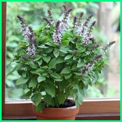 Tanaman selasih dalam pot dalam ruangan,tanaman pengusir nyamuk dan lalat, tanaman anti nyamuk indoor, tanaman anti nyamuk terbaik, tanaman anti nyamuk dalam rumah, tanaman bebas nyamuk, tanaman buat nyamuk