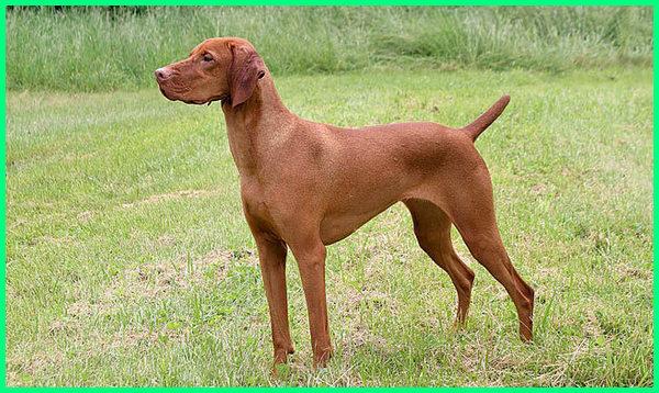 vizsla dogs, vizsla dog breed, vizsla dog names, vizsla dog breed info, vizsla dog info, vizsla dog description