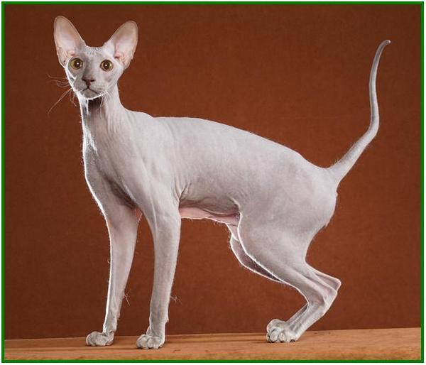 kucing berharga mahal, kucing mahal dan cantik, kucing paling mahal di malaysia, kucing paling mahal di dunia, gambar kucing yang paling mahal, kucing yang harganya mahal
