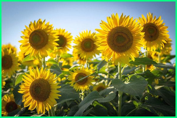 contoh dari tanaman hias bunga, nama tanaman hias bunga, gambar dan nama tanaman hias bunga, menjelaskan nama tanaman hias bunga, nama jenis tanaman hias bunga