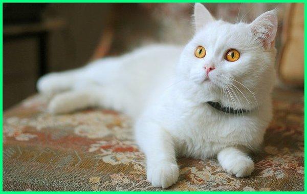 nama kucing jantan putih, nama kucing jantan dan artinya, nama kucing jantan yg bagus, nama kucing jantan islami, nama kucing jantan warna putih
