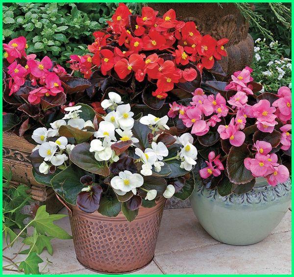 tanaman bunga hias dalam pot, tanaman bunga hias mini, tanaman bunga hias depan rumah, tanaman bunga hias yang unik, tanaman hias bunga begonia, tanaman hias bunga contohnya, tanaman hias bunga cantik