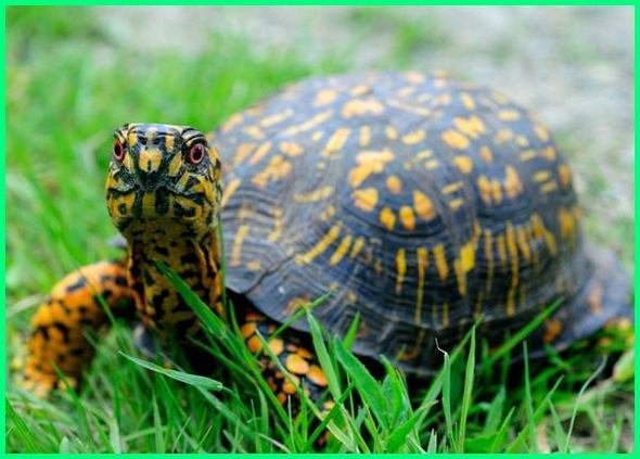 a box turtles habitat, the box turtle family, box turtle characteristics, box turtle classification, box turtle conservation, box turtle diet in the wild