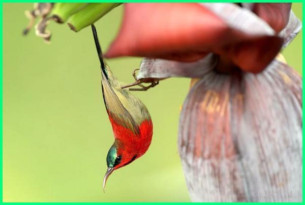 apa itu hewan nektar, hewan yang makanannya nektar adalah, hewan pemakan nektar bunga