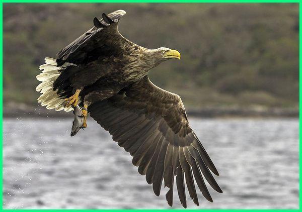 90+  Gambar Burung Elang Merak HD Terbaik Free