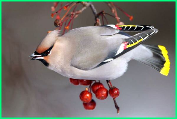 nama burung cantik, nama nama burung cantik di dunia, nama cantik untuk burung, nama burung ekor cantik, nama burung paling cantik