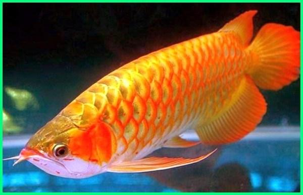 jenis arwana golden red, jenis ikan arwana golden red, jenis jenis arwana golden red, jenis jenis arwana golden, jenis ikan arwana kontes, jenis arwana lengkap