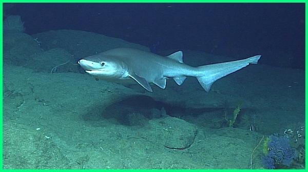 jenis ikan hiu beserta gambar, jenis ikan hiu kecil, ada berapa jenis ikan hiu, jenis jenis ikan hiu beserta gambarnya, gambar jenis ikan hiu, gambar semua jenis ikan hiu, jenis jenis ikan hiu