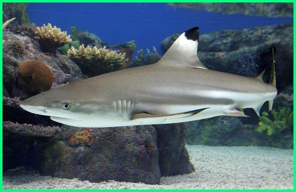 Download 780+ Jenis Ikan Hiu Beserta Gambar Terbaru