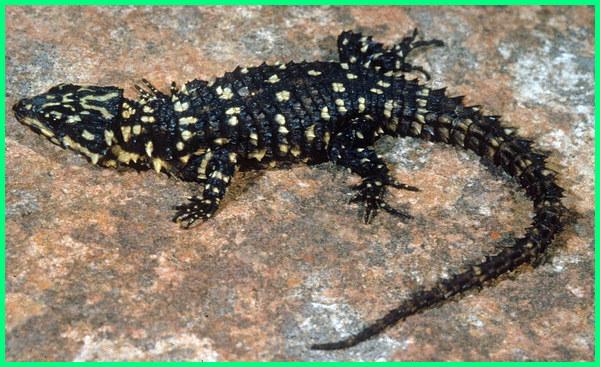 jenis reptil yang beranak, jenis reptil yang tidak melahirkan, jenis kadal beranak