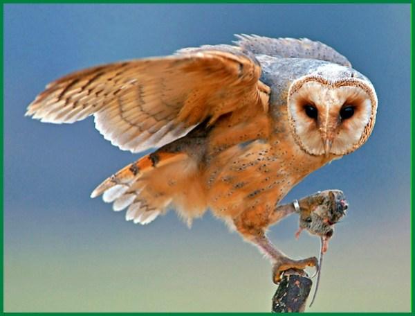 makanan bayi barn owl, makanan alternatif barn owl, makanan burung hantu barn owl, makanan burung hantu barn owl anakan, makanan anak burung hantu barn owl, makanan barn owl tyto alba, makanan barn owl brancher, makanan barn owl chick, makanan untuk burung hantu barn owl, makanan kesukaan barn owl