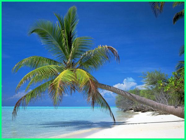 tanaman pantai adalah, tumbuhan pinggir pantai, tanaman tepi pantai, tumbuhan tepi pantai, tanaman untuk pantai, tanaman di wilayah pantai, pohon kelapa di pantai
